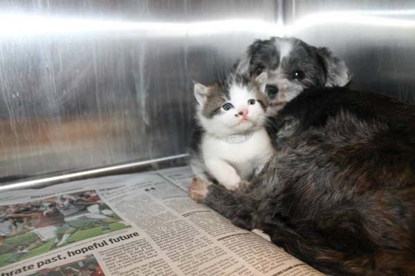 dog-saves-kitten2
